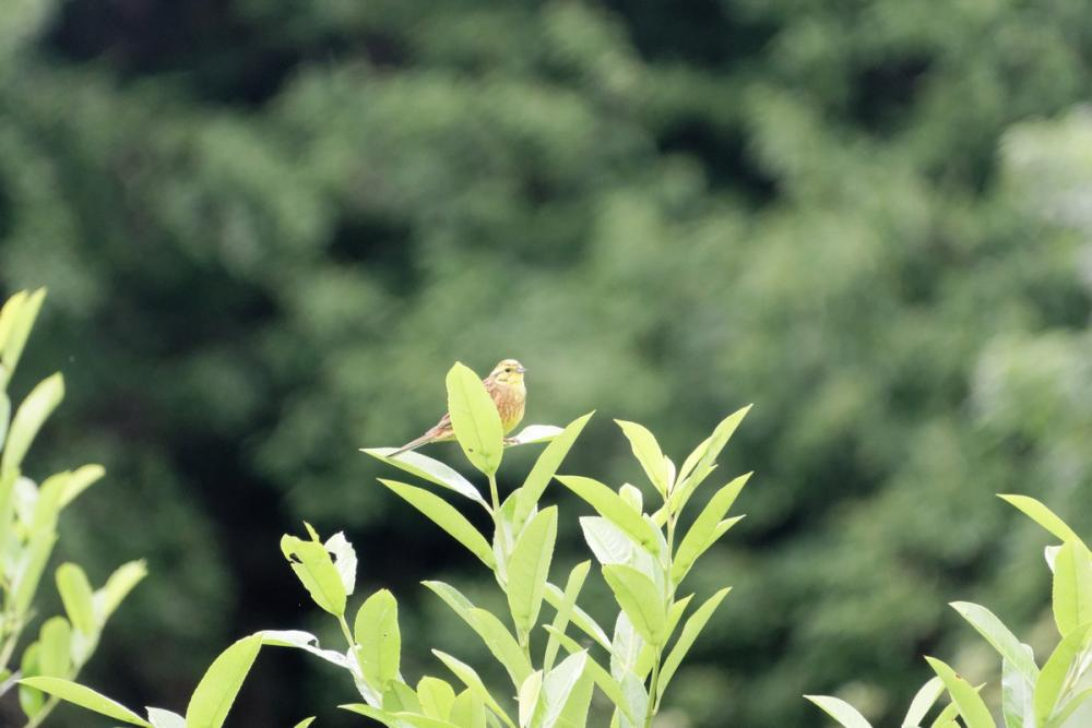 bruant jaune (6).jpg