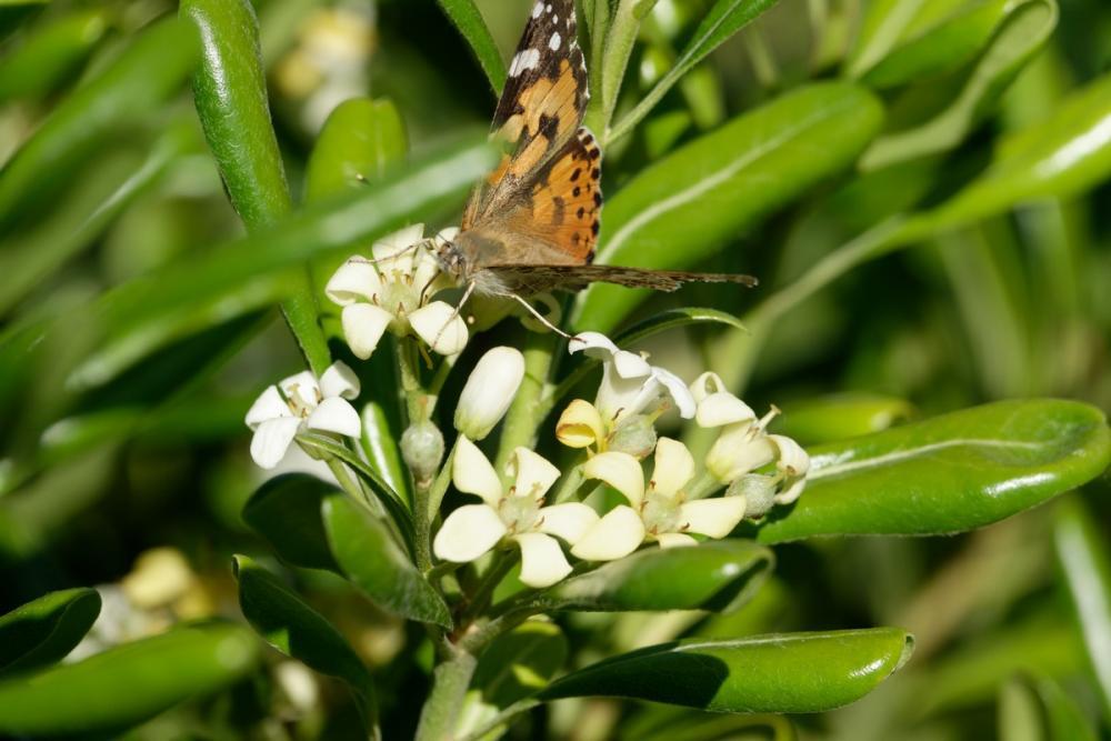 Papillon (3).jpg