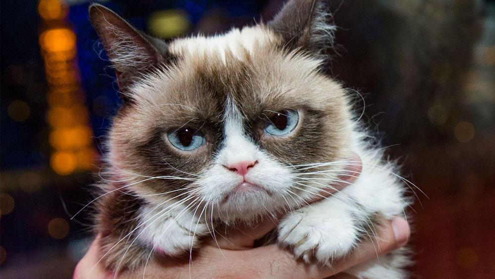 mort-de-grumpy-cat-la-chatte-la-plus-celebre-du-web-a-7-ans.thumb.jpeg.5248280b46acb41e8ef029ab3ef3b374.jpeg