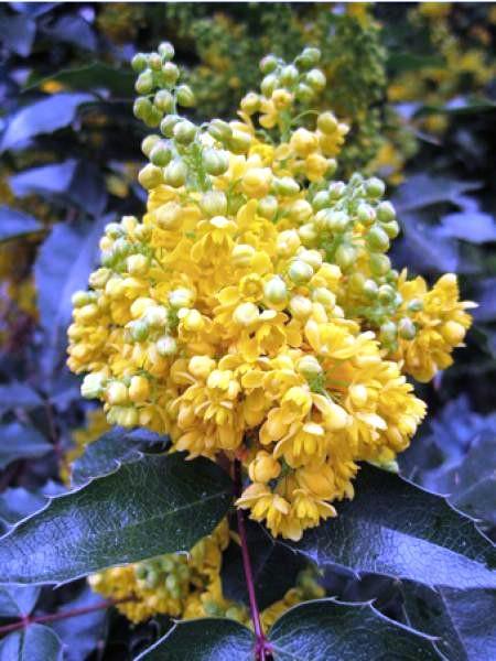 mahonia-a-feuilles-de-houx.jpg.13cd55fa47f103a7529e943ec5892c2c.jpg