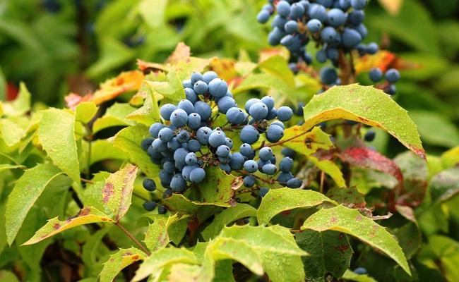 mahonia-fruits-184844.jpg.1ae6ddd92dc265e6c54510d128ec88df.jpg